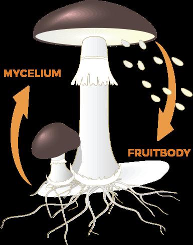 Fruiting Bodies & Mycelium