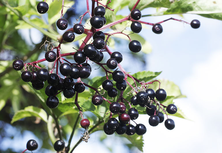 Cleveland Clinic's Health Essentials Is Elderberry Really an Effective Cold and Flu Cure?